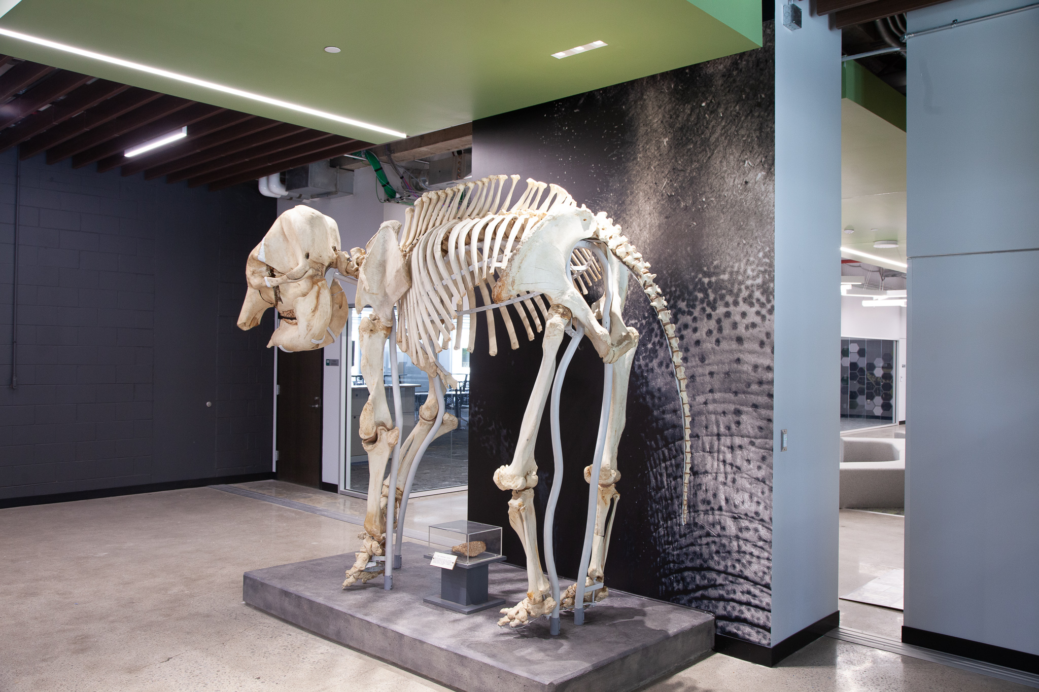 Fully installed Iki elephant skeleton.