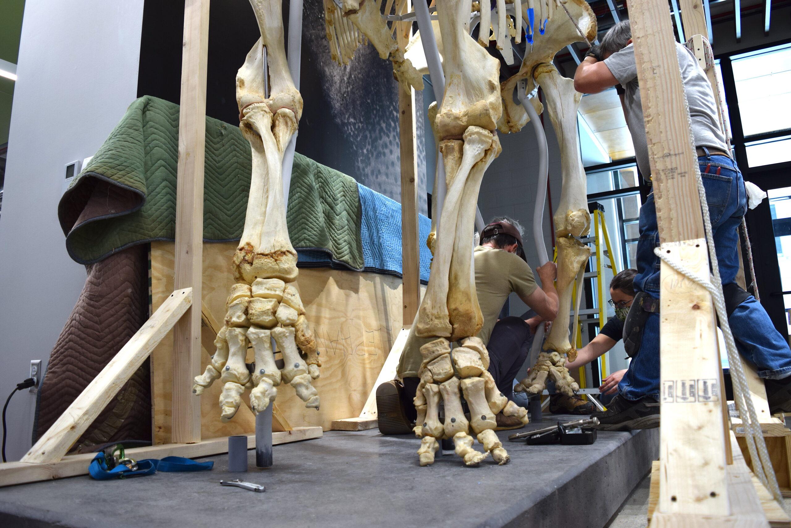 Iki elephant skeleton installation process.